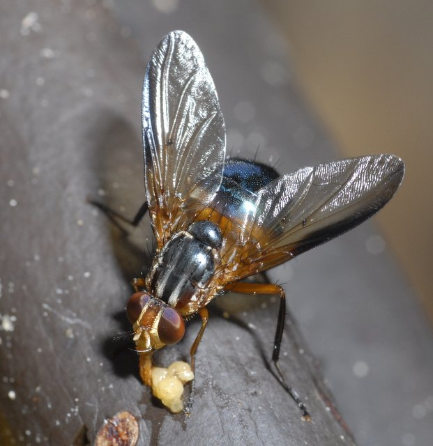 Mesembrinella (Calliphoridae sensu lato) on rotting banana