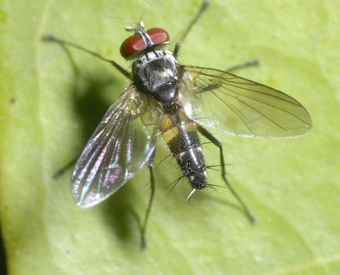 One of the few tachinid shots I took (probably a blondeliine. Phyllophilopsis??)
