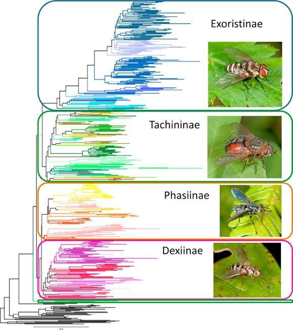 PhylogenyofTachinidaegraphabstr